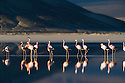 """Andean flamingos (Phoenicoparrus andinus) in salt lake """"Salar de Surire"""", in the Andes in northeastern Chile near the Bolivian border, natural monument, home to 3 species of flamingos"""