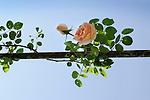 New Dawn Rose on arbor