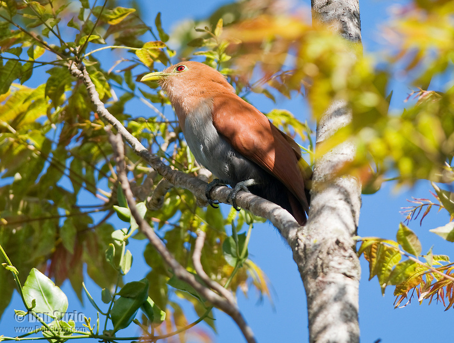 Squirrel cuckoo, Piaya cayana, in the gardens of the Hotel Bougainvillea, San Jose, Costa Rica