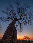 Baobab (Adansonia digitata) at dusk, Mana Pools National Park, Zimbabwe<br /> <br /> Canon EOS 5DS R, Zeiss Distagon T* 2.8/15 ZE lens, f/6.3 for .6 second, ISO 320