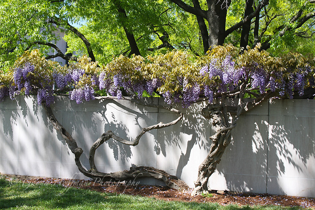 Wisteria vine in bloom on wall.