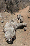 Poached white rhino (Ceratotherium simum) carcass, one week after killing, Lewa Conservancy, Laikipia, Kenya, September 2012