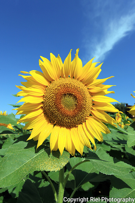 Brilliant yellow sunflower sprinkling its pollen on its leaves under a whisper of a cloud held in a rich blue sky.