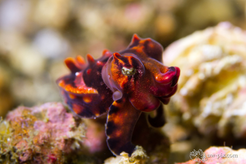 Metasepia pfefferi, also known as Pfeffer's flamboyant cuttlefish, is a species of cuttlefish occurring in tropical Indo-Pacific waters off northern Australia, southern New Guinea, as well as numerous islands of the Philippines, Indonesia and Malaysia. Recent studies proof that the skin of the Cuttlefish is toxic.