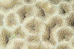Fakfak Regency, West Papua, Indonesia; detail view of a large colony of Lobophyllia hemprichii corals, commonly called Lobed Brain Coral, Lobed Cactus Coral or Largebrain Root Coral
