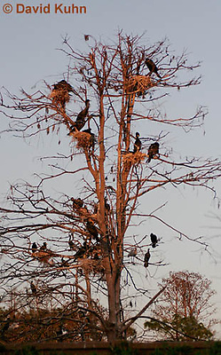 0111-0981  Flock of Double-crested Cormorants Nesting in Tree During Sunset, Phalacrocorax auritus  © David Kuhn/Dwight Kuhn Photography