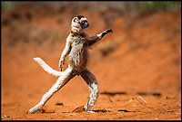 BNPS.co.uk (01202 558833)<br /> Pic: AlisonButtigieg/BNPS<br /> <br /> ***Pleae Use Full Byline***<br /> <br /> A 'dancing' Verreaux Sifaka, who habitats in Madagascar.<br /> <br /> With video. <br /> <br /> verreaux's sifaka<br /> <br /> This is the hilarious moment a group of lemurs scrambled down a tree and burst into a fantastic dance display.<br /> <br /> The primates had been eating berries from the top of the tall bark when they decided to cross a dirt road to a cluster of other trees.<br /> <br /> As they landed on the ground each one burst into an array of impressive dance moves, including twirls, jumps, spins and stretches.<br /> <br /> They boogied their way across the track without stopping and even performed a few acrobatic stunts.<br /> <br /> The elaborate routine only stopped when they reached another trunk and scrambled up to the top.<br /> <br /> The whole thing was captured on camera by Allison Buttigieg, who was watching the lemurs' antics with her boyfriend, Olli Teirila.<br /> <br /> The couple were enjoying a holiday on the island of Madagascar in the hope of photographing the dancing, made famous by the animated DreamWorks film.<br /> <br /> Allison, 34, from Helsinki in Finland, said: &quot;Part of the reason I wanted to go to Madagascar is because they have lemurs there that look like they are dancing.<br /> <br /> &quot;We went to a spot where there were a group of them up in the trees and waited for many hours for them to move.<br /> <br /> &quot;Normally they jump from tree to tree but they had to cross a dirt road, so we were waiting for them to do that.<br /> <br /> &quot;Eventually they came down from the trees and started doing their little dance.<br /> <br /> &quot;They are adapted to the trees and they can't crawl so this is why they do it.<br /> <br /> &quot;I had seen them doing it on documentaries before and I had always said I wanted to go and see them for myself and take photos.<br /> <br /> &quot;It was very amusing and looke