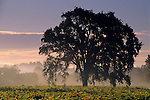 Oak tree in vineyard at sunrise, near Oakville, Napa Valley, Napa County, California