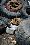 Barbary Macaque bending over steel container full of water, set between old tires in garbage dump. Rock of Gibraltar