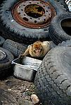 Barbary Macaque bending over steel container full of water, set between old tires in garbage dump. Rock of Gibraltar