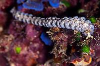 Blue Dragon Nudibranch, Pteraeolidia ianthina, Uhak Reef dive site, Uhak Village, Wetar Island, near Alor, Indonesia, Banda Sea, Pacific Ocean