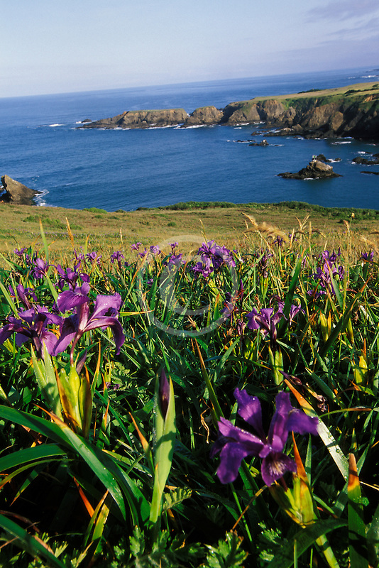 California, Mendocino County, Wild Iris and Albion Cove
