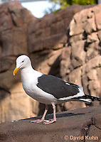 1128-1007  Western Gull, Larus occidentalis  © David Kuhn/Dwight Kuhn Photography