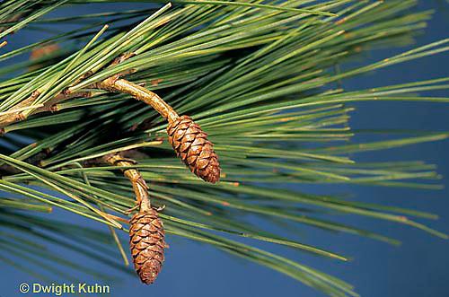 EV06-006a  White Pine - immature pine cones - Pinus strobus