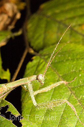 Praying mantis, Mantis religiosa<br />