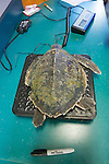 Weighing Olive Ridley Sea Turtle, Sanctuary Director, Welfleet Bay Wildlife Sanctuary, Audubon