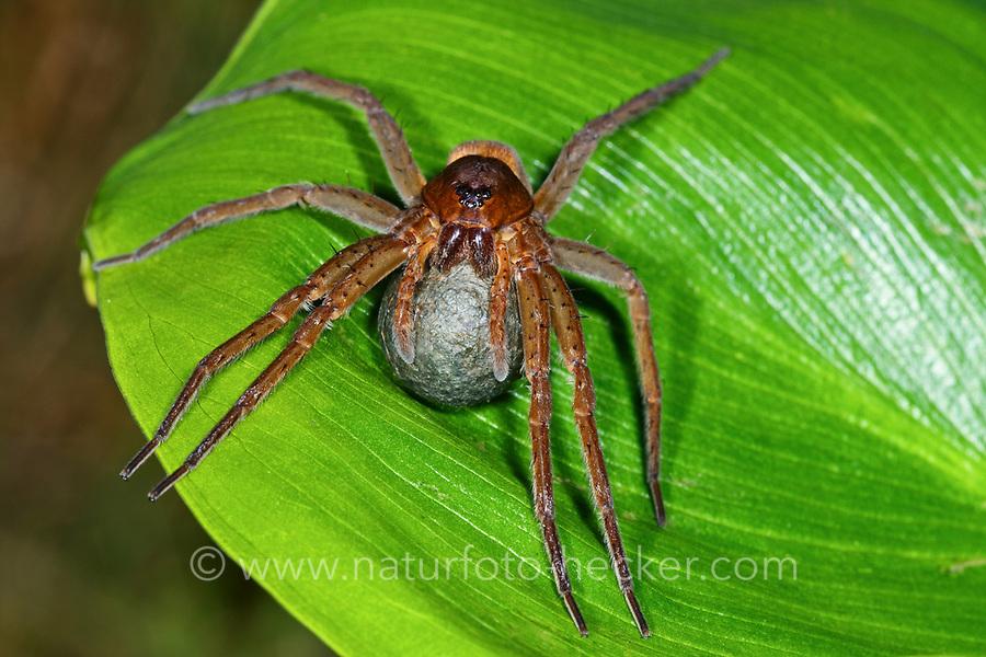 Gerandete Wasserspinne, Weibchen mit Eikokon, Dolomedes plantarius, Dolomedes riparius, great raft spider, fen raft spider, Jagdspinnen, Pisauridae