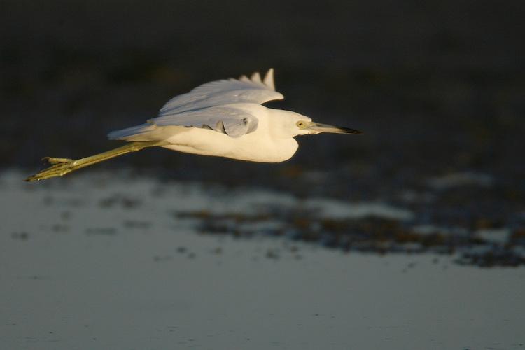 Little Blue Heron - Egretta caerulea - Juvenile