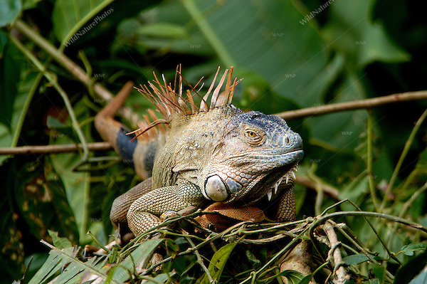 Green iguana, Iguana iguana, on a roost in the rainforest; La Selva, Costa Rica