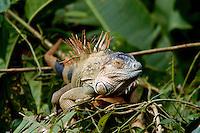 Green iguana, Iguana iguana, on a roost in the rainforest; La Selva, Costa Rica