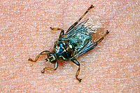 Pferdelausfliege, Pferde-Lausfliege, Lausfliege, Hippobosca equina, forest fly, New Forest fly, forest-fly, Lausfliegen, Hippoboscidae, louse flies, louseflies, hippoboscid fly, hippoboscid flies, hippoboscidés