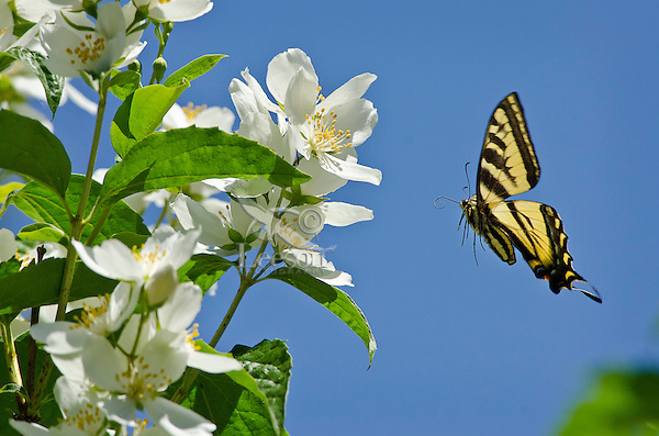 Western Tiger Swallowtail (Papilio rutulus) flying.  Pacific Northwest.