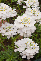 Closeup of Candytuft flowers in spring, Iberis sempervirens 'Appen Etz'