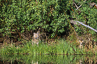 Coyote (Canis latrans) mother with pup along slow moving stream.  Western U.S., summer.