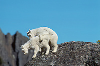 Mountain goat (Oreamnos americanus) kids playing, Pacific N.W. June