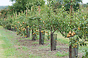 Orchard of pear trees trained as pyramids and spindlebushes, Wisley, late September.
