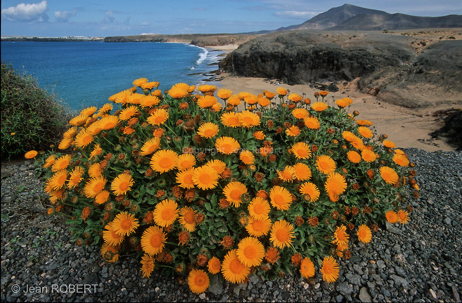 Fleurs devant la plage de Papagayo, une des seules plages de sable blanc de l ile de Lanzarote. .Flowers in front of Papagayo beach, one of the few white sand beach on Lanzarote island