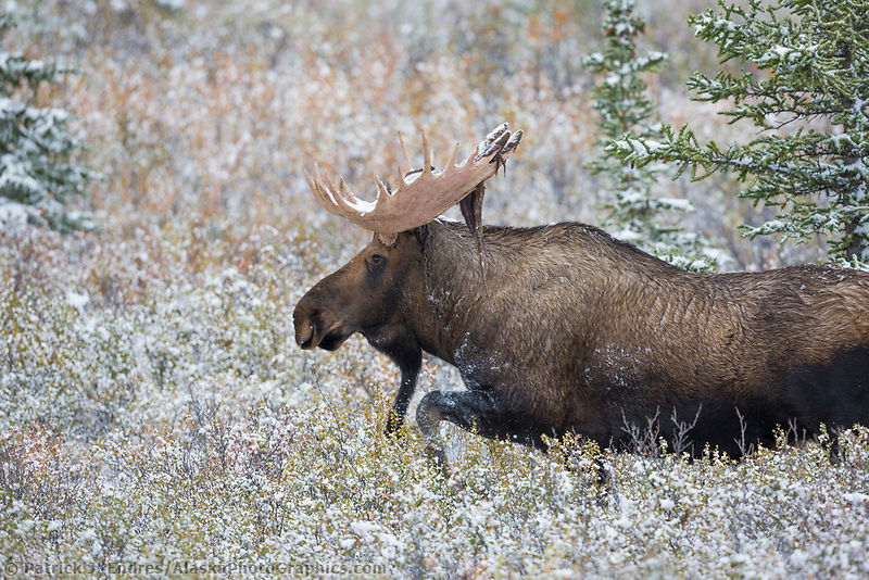 Bull moose runs through the willows with fresh snow, Denali National Park, Interior, Alaska