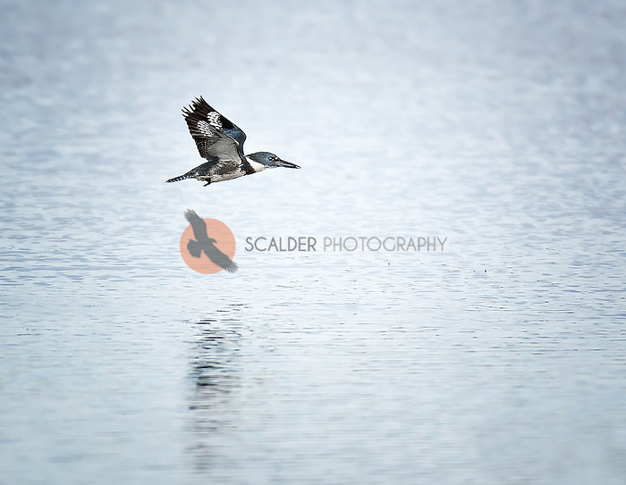 Belted Kingfisher in flight over water with wings aloft
