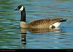 Canada Goose, Sepulveda Wildlife Refuge, Southern California