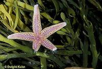 EC02-012z   Starfish - Boreal Asterias regenerating lost arms - Asterias vulgaris