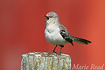 Northern Mockingbird (Mimus polyglottos), singing in spring, red barn in background, Interlaken, New York, USA