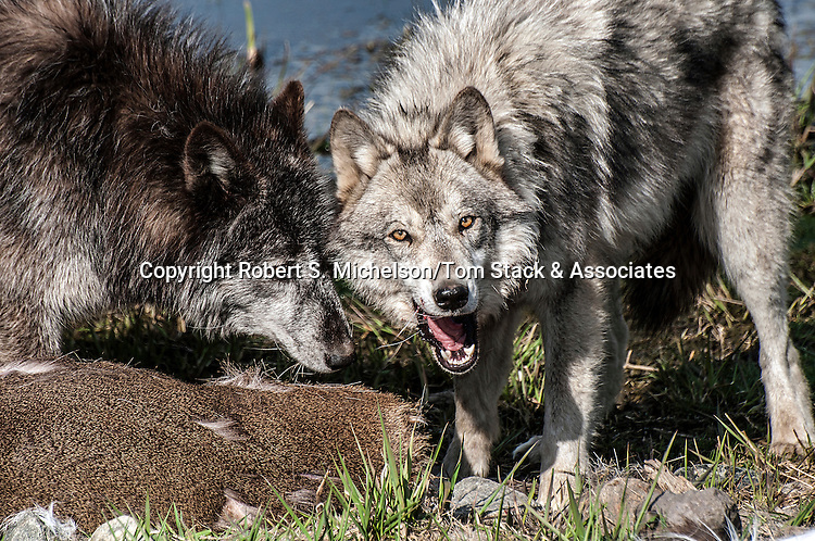 grey wolf 2 shot feeding on deer carcass, medium view