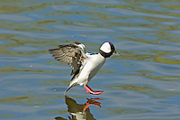 Bufflehead duck drake (Bucephala albeola) landing on lake surface.  Pacific Northwest.  Winter..
