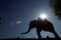 An elephant makes its way down the Grand Trunk Road in Punjab.