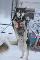 Saturday February 25, 2006 Willow, Alaska.  Charlotte Mattheis' wheel dog, Axil, strains his tug line to go at the start day of the Junior Iditarod sled dog race.  Willow Lake.