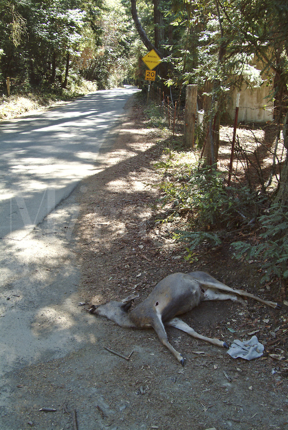 Dead deer struck by a vehicle.