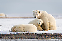 Beautiful Polar Bear mother guards her two spring cubs against all intruders.  There were about 20 bears on the spit of land occupied by this family, so she was right to be careful and diligent.  Kaktovik, Alaska.