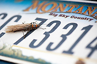 A salmonfly crawls over a Montana license plate along the Madison River near Ennis, Montana.