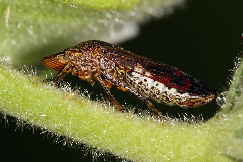 The glassy-winged sharpshooter (Homalodisca vitripennis), is a large leafhopper insect from the family Cicadellidae.