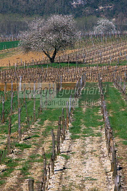 Europe/France/Midi-Pyrénées/46/Lot/Vallée du Lot/Vignoble de Cahors/Env Luzech: Le vignoble