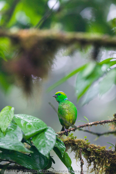 Golden-browed Cholorphonia, Monte Verde Cloud Forest, Costa Rica, Central America.