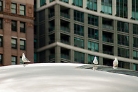 Gulls sit on the top surface of the cloudgate art fixture in Millennial Park, Chicago, Illinois