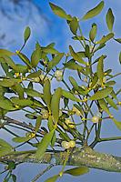 Mistel, Laubholz-Mistel, Weißbeerige Mistel, Viscum album, Mistletoe, European mistletoe, common mistletoe, mistle, Le gui, gui blanc, gui des feuillus