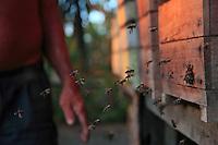 Brazil, Bragança, State of Pará. Stingless bees, Melipona fasciculata, returning to their modern hive.