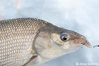 Whitefish caught ice fishing.